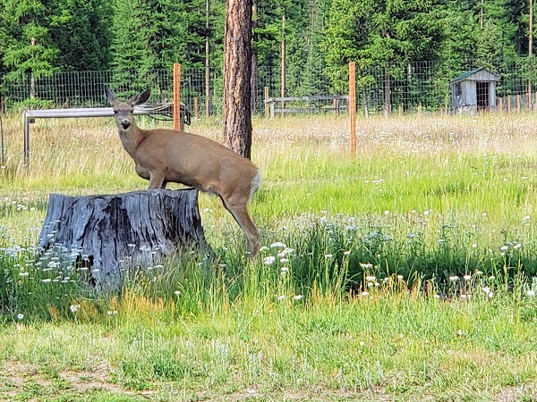 Deer standing on a stump at the Camp Patriot Ranch